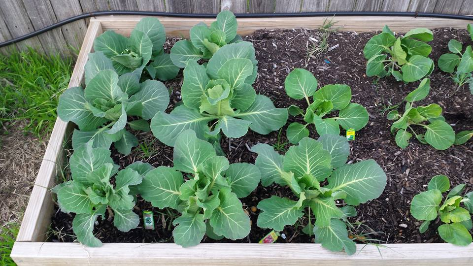 cabbage and brussel sprouts