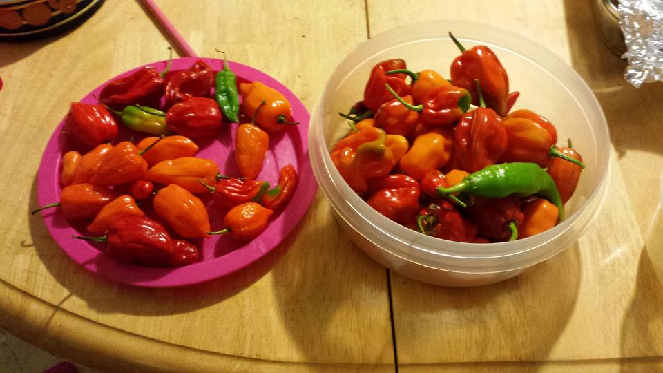 pepper harvest1