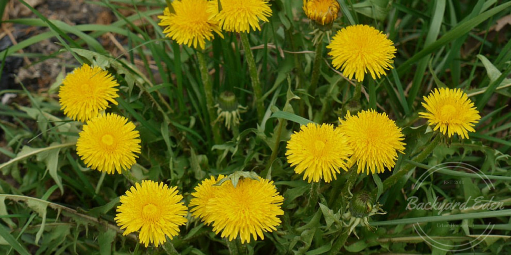Dandelion, The top 5 weeds to grow
