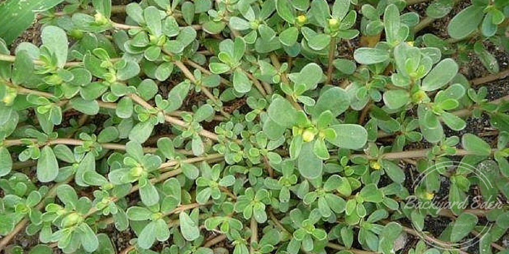 Purslane, The Top 5 weeds to grow