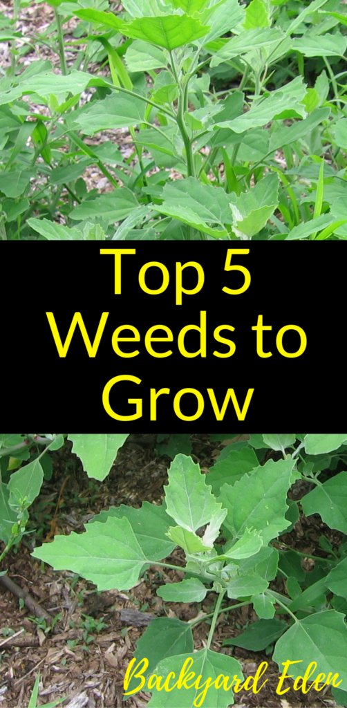 Top Weeds to grow, weeds to have in your garden, Backyard Eden, www.backyard-eden.com, https://backyard-eden.com/top-5-weeds-to-grow/