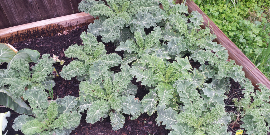 Curly Kale, Backyard Eden, www.backyard-eden.com, march garden