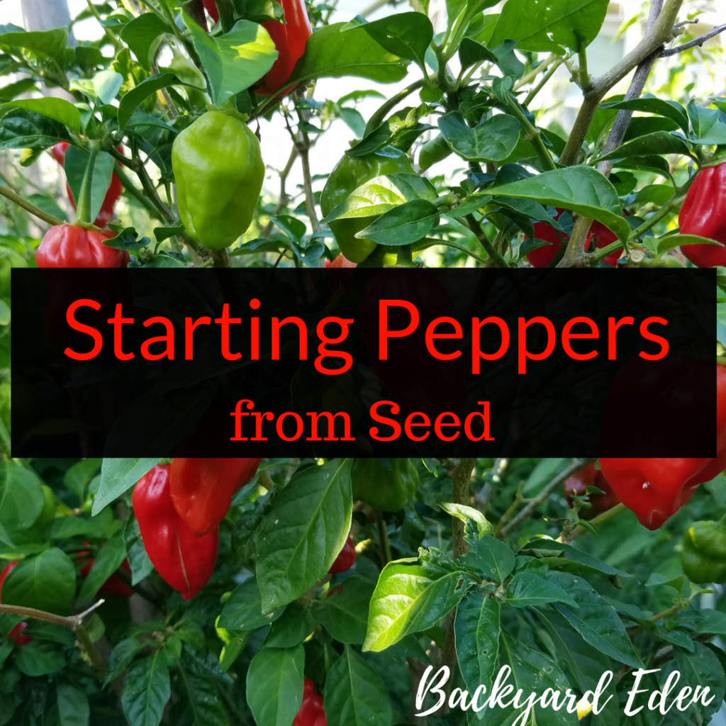 starting peppers from seed, growing your own, hot peppers, www.backyard-eden.com
