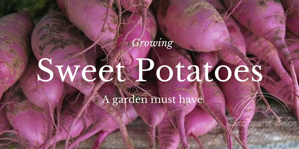 Growing Sweet Potatoes, www.backyard-eden.com, Backyard Eden