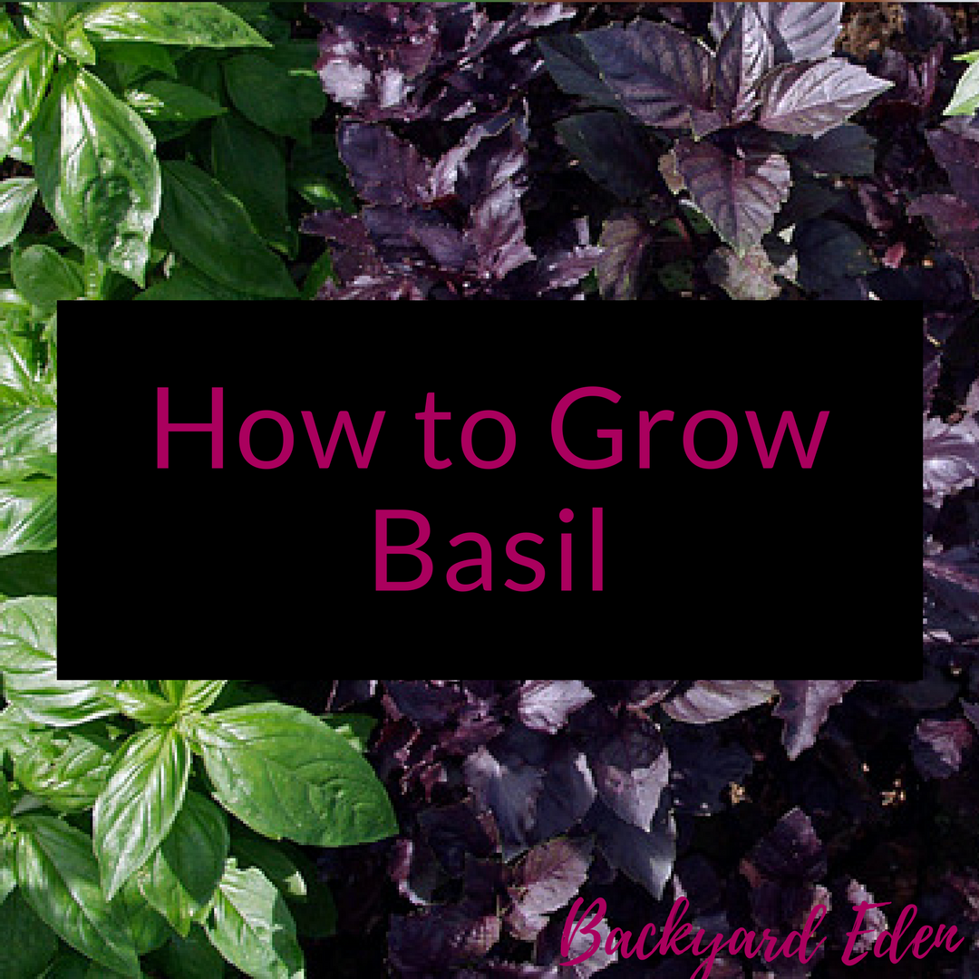 How to grow Basil, growing basil, growing herbs, Backyard Eden, www.backyard-eden.com, www.backyard-eden.com/how-to-grow-basil
