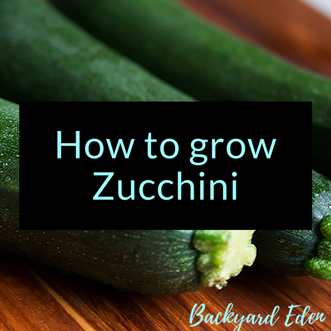 How to grow Zucchini, zucchini, Backyard Eden, www.backyard-eden.com, www.backyard-eden.com/how-to-grow-zucchini