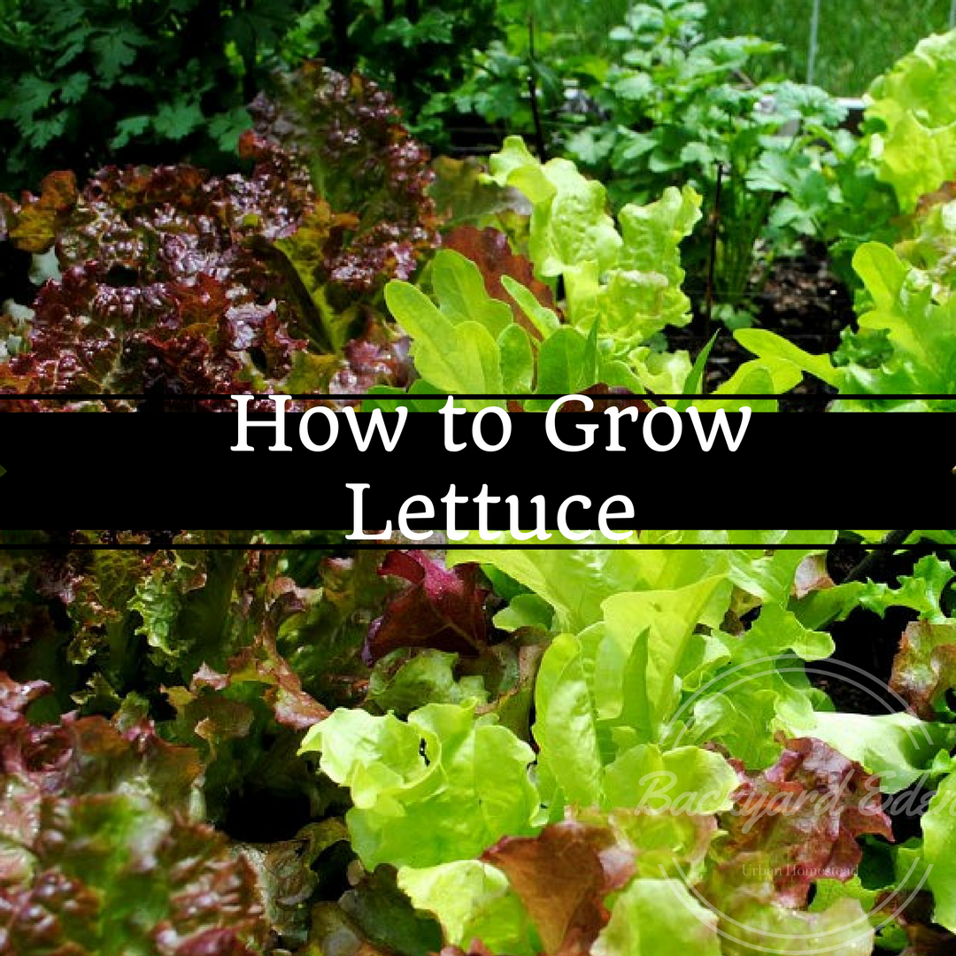 How to grow lettuce, Lettuce, Growing greens, Grow your own, backyard garden, backyard farming, backyard eden, www.backyard-eden.com