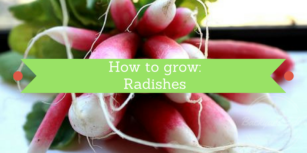 How to grow, How to grow radishes, Backyard Eden, www.backyard-eden.com