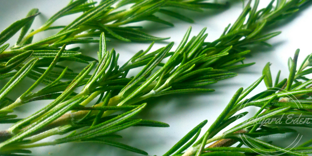 How to propagate rosemary, how to, how to grow, rosemary, Backyard Eden, www.backyard-eden.com
