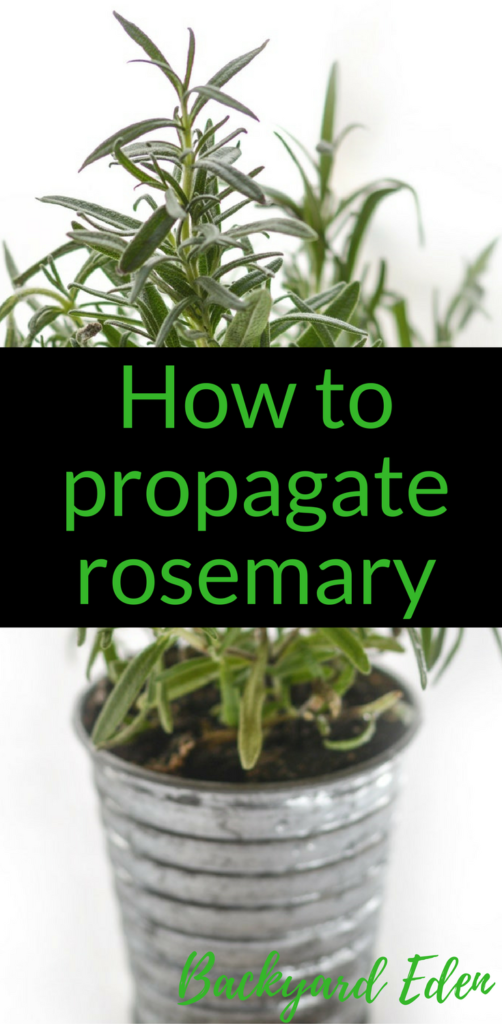 How to propagate rosemary in water, rosemary, herbs, Backyard Eden, www.backyard-eden.com. www.backyard-eden.com/how-to-propagate-rosemary