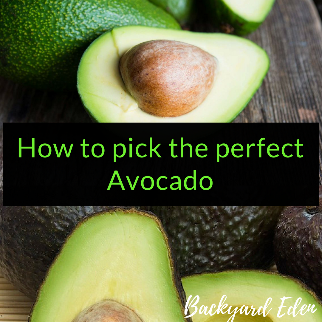 How to pick the perfect avocado, avocados, Backyard Eden, www.backyard-eden.com, www.backyard-eden.com/how-to-pick-the-perfect-avocado