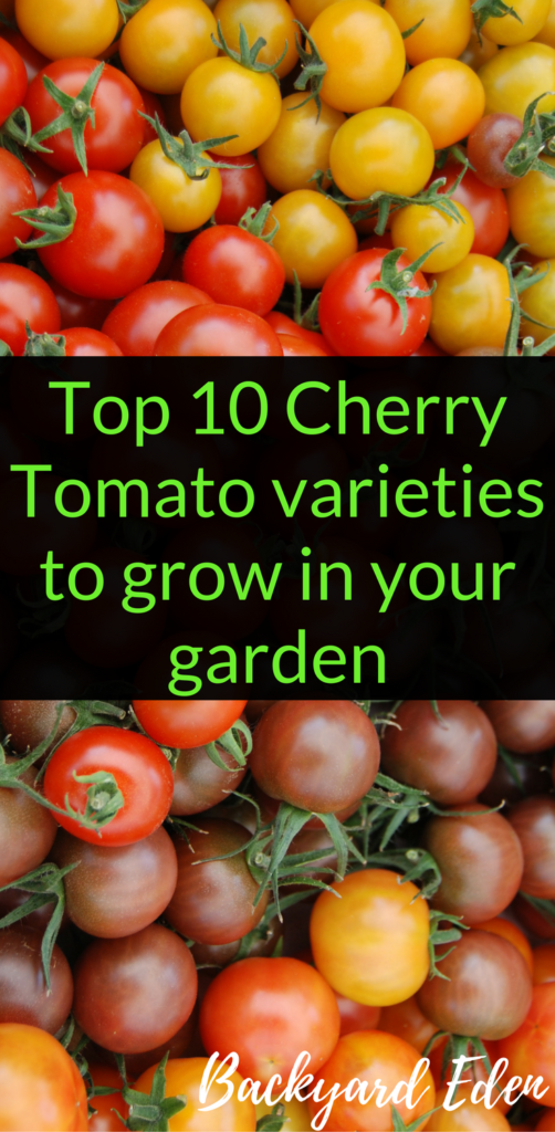 Top 10 Cherry Tomato varieties to grow in your garden, cherry tomatoes, best varieties, Backyard Eden, www.backyard-eden.com, www.backyard-eden.com/Top-10-Cherry-Tomato-varieties-to-grow-in-your-garden