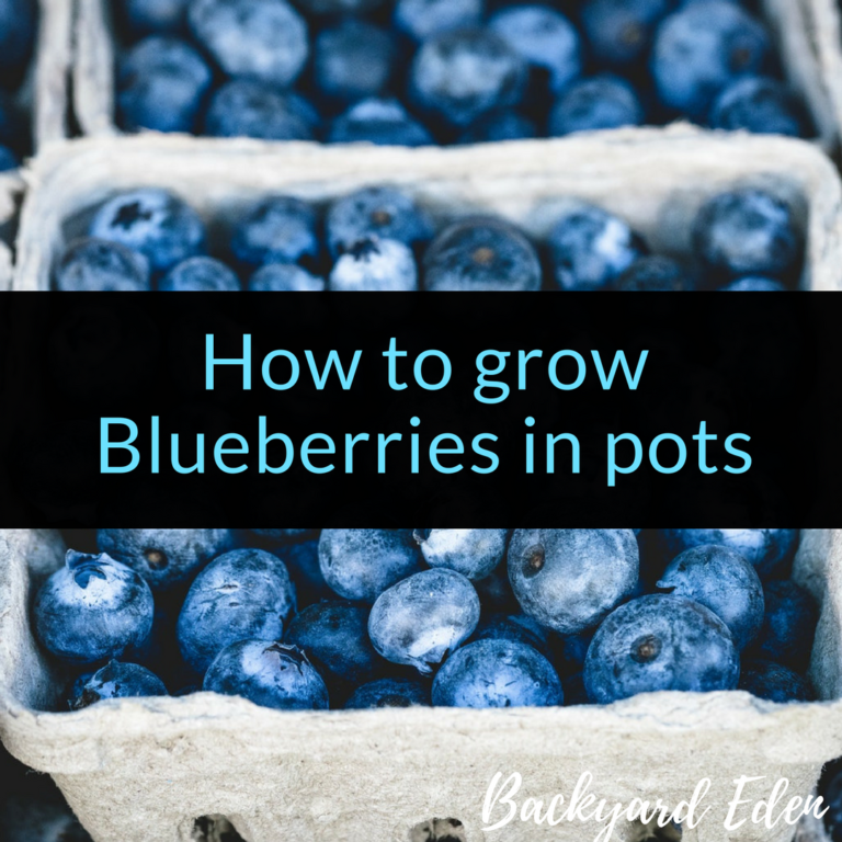 How to grow blueberries in pots, container blueberries, how to grow blueberries, Backyard Eden, www.backyard-eden.com, www.backyard-eden.com/how-to-grow-blueberries-in-pots