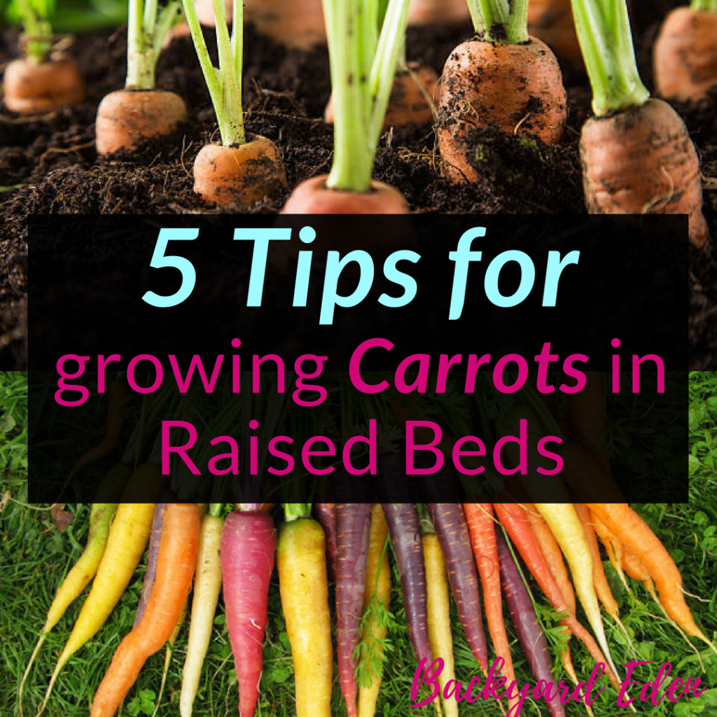 5 Tips for growing Carrots in Raised Beds, Raised Beds, carrots, Backyard Eden, www.backyard-eden.com, www.backyard-eden.com/5-tips-for-growing-carrots-in-raised-beds