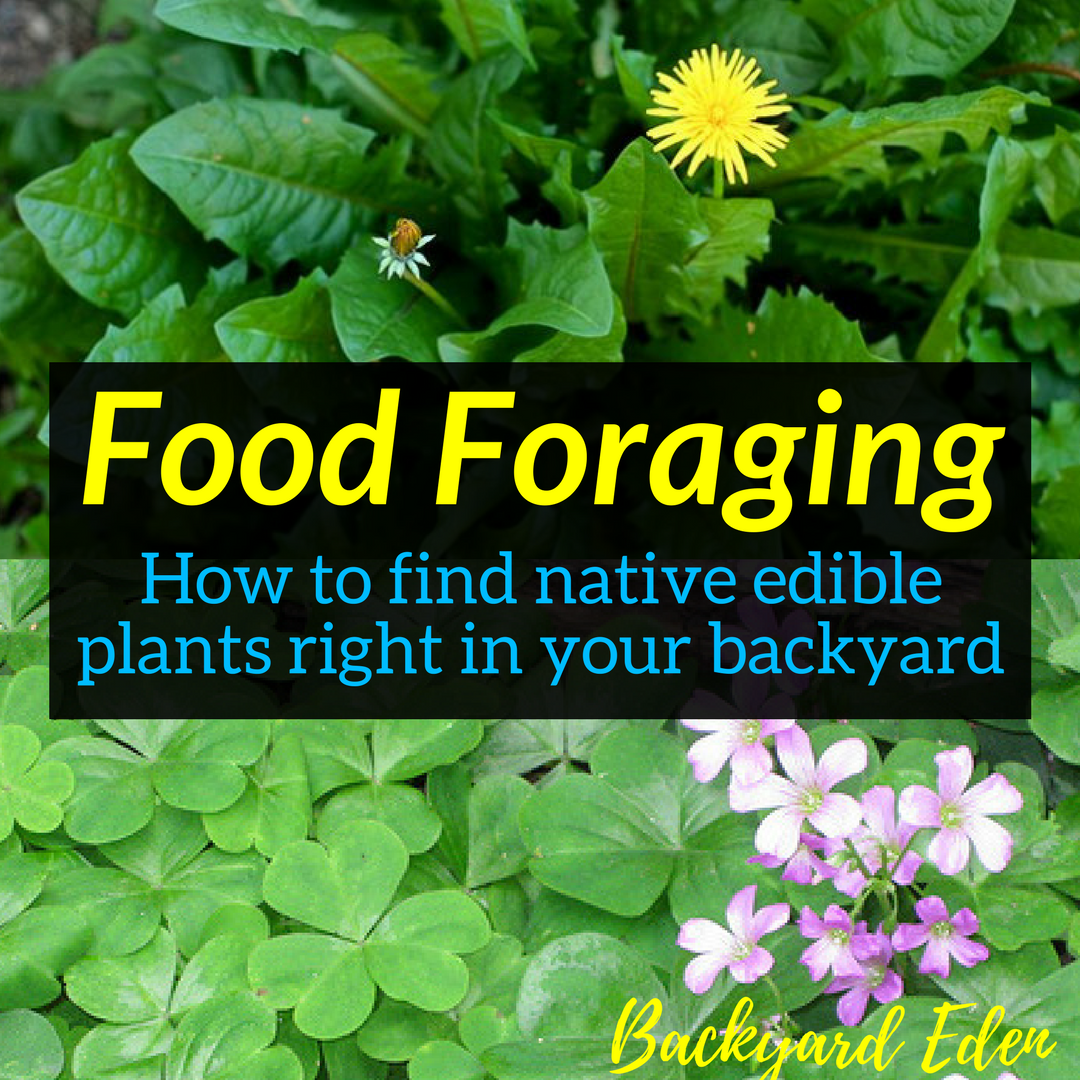 Native Edible Plants Australia: How To Find Native Edible Plants Right In