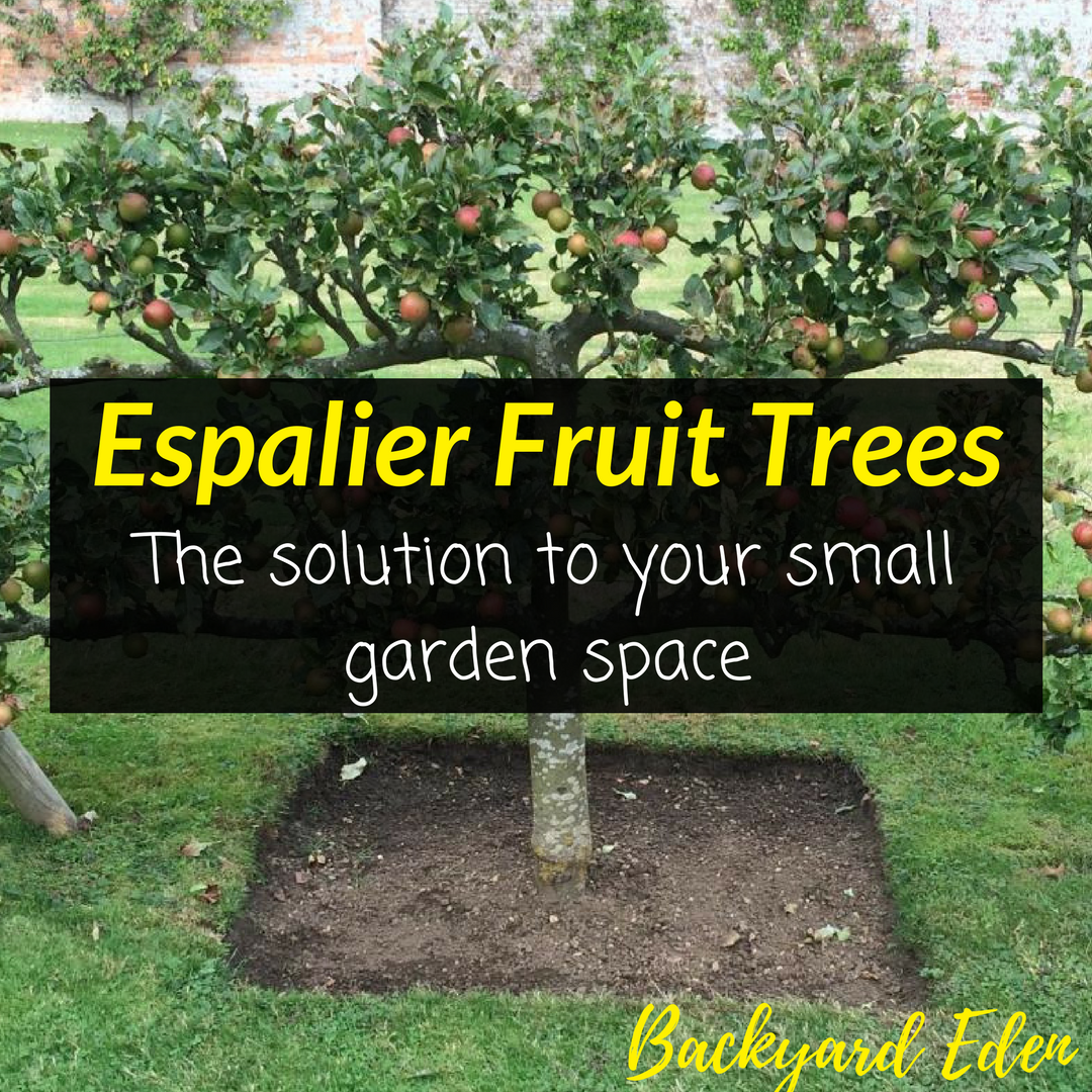 Espalier Fruit Trees  - The solution to your small garden space 4