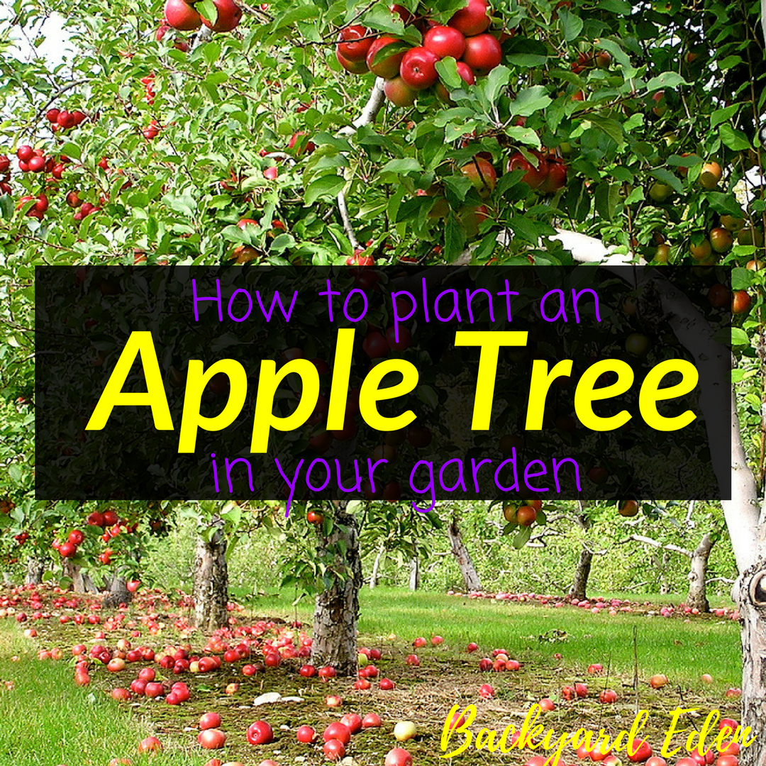 How to plant an apple tree in your garden, apple tree, fruit trees, garden, Backyard Eden, www.backyard-eden.com, www.backyard-eden.com/how-to-plant-an-apple-tree-in-your-garden