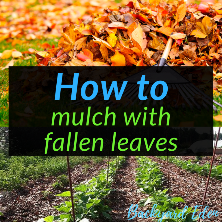 How to mulch with fallen leaves, mulch, how to, mulch with leaves, Backyard Eden, www.backyard-eden.com, www.backyard-eden.com/how-to-mulch-with-fallen-leaves