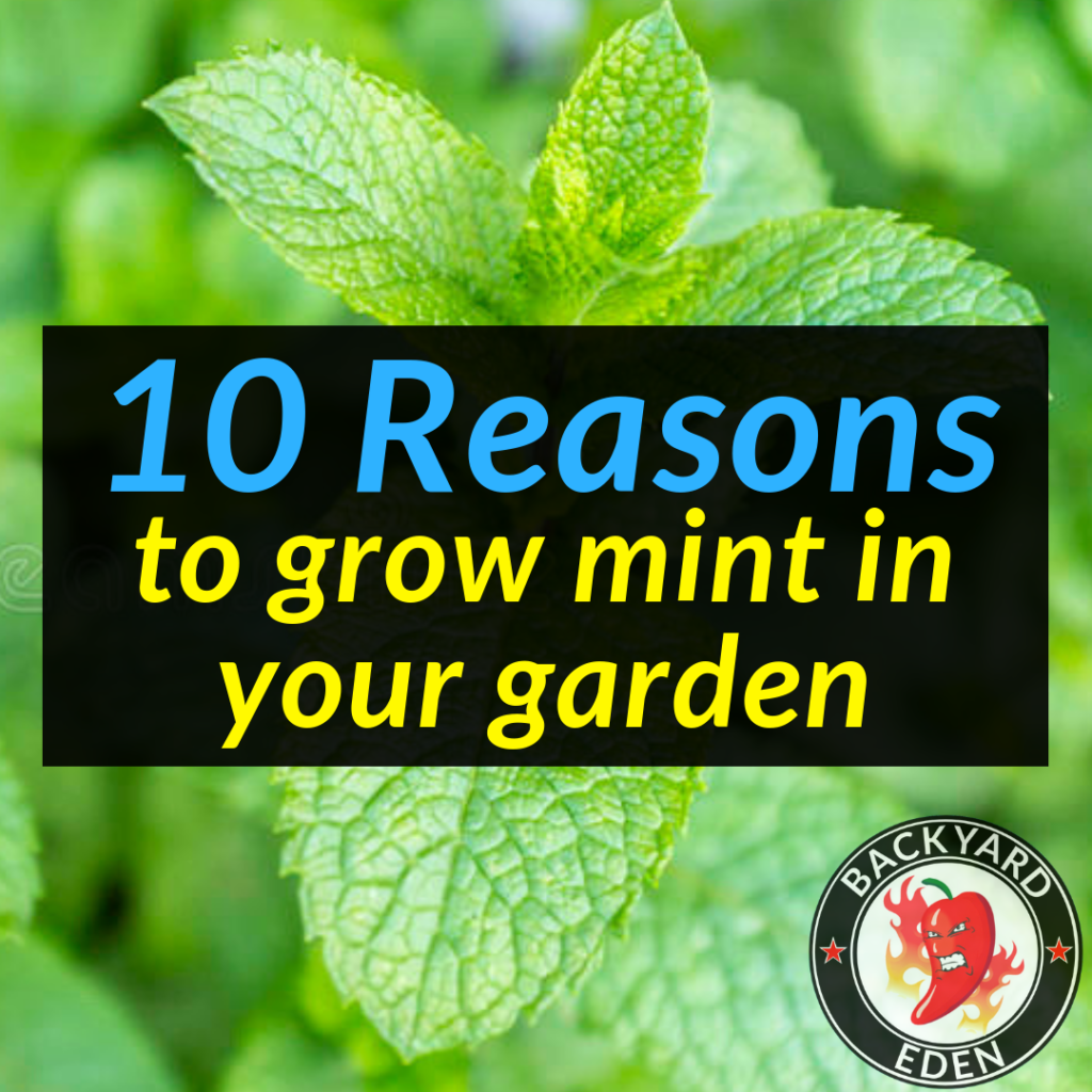 10 Reasons to grow Mint in your garden 5