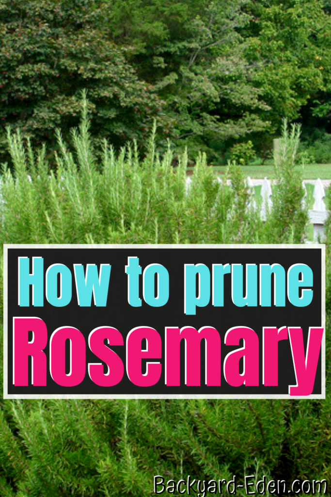 how to prune rosemary