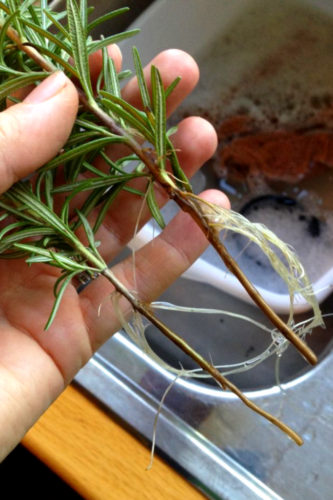 How to propagate Rosemary - The easy way 2