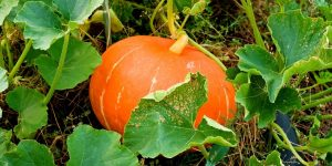 How to Grow Pumpkins, Backyard Eden, www.backyard-eden.com