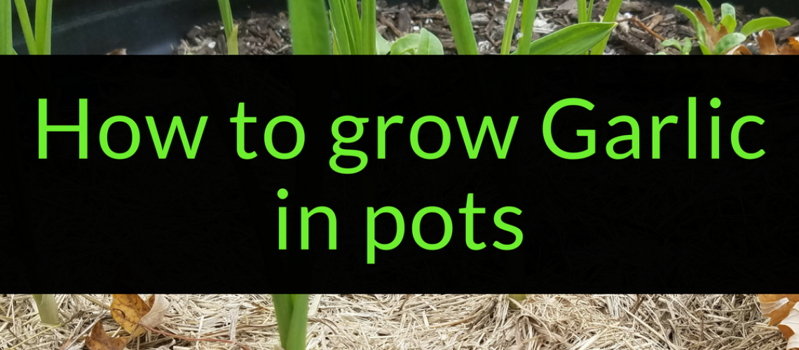 How to grow garlic in pots, growing garlic in pots, Backyard Eden, www.backyard-eden.com, www.backyard-eden.com/how-to-grow-garlic-in-pots