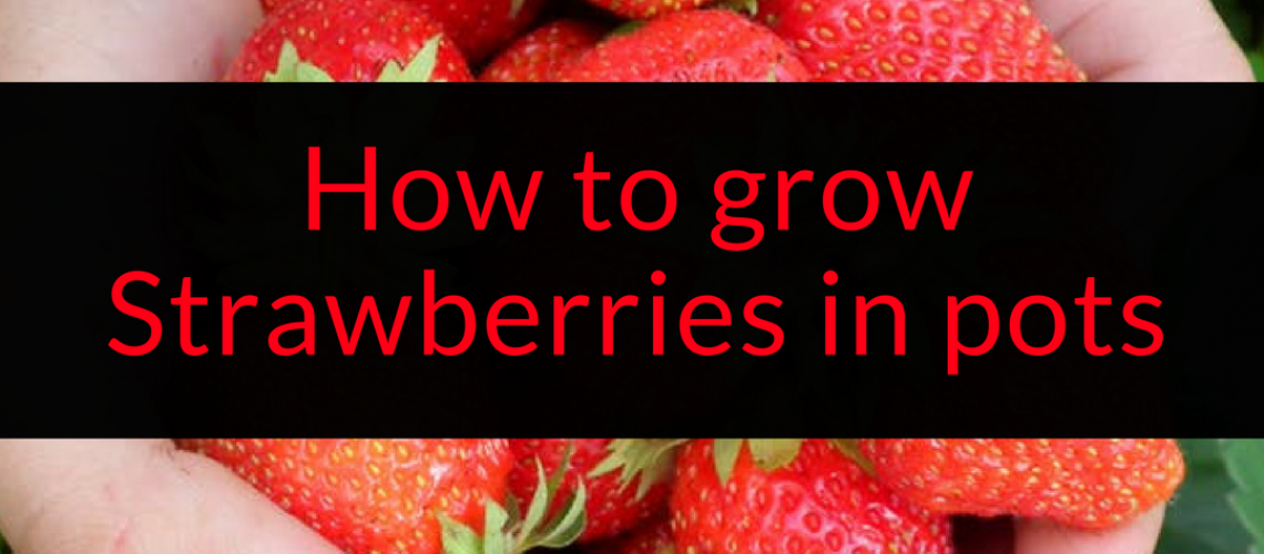 How to grow strawberries in pots, growing strawberries in pots, container gardening, strawberries, Backyard Eden, www.backyard-eden.com, www.backyard-eden.com/how-to-grow-strawberries-in-pots