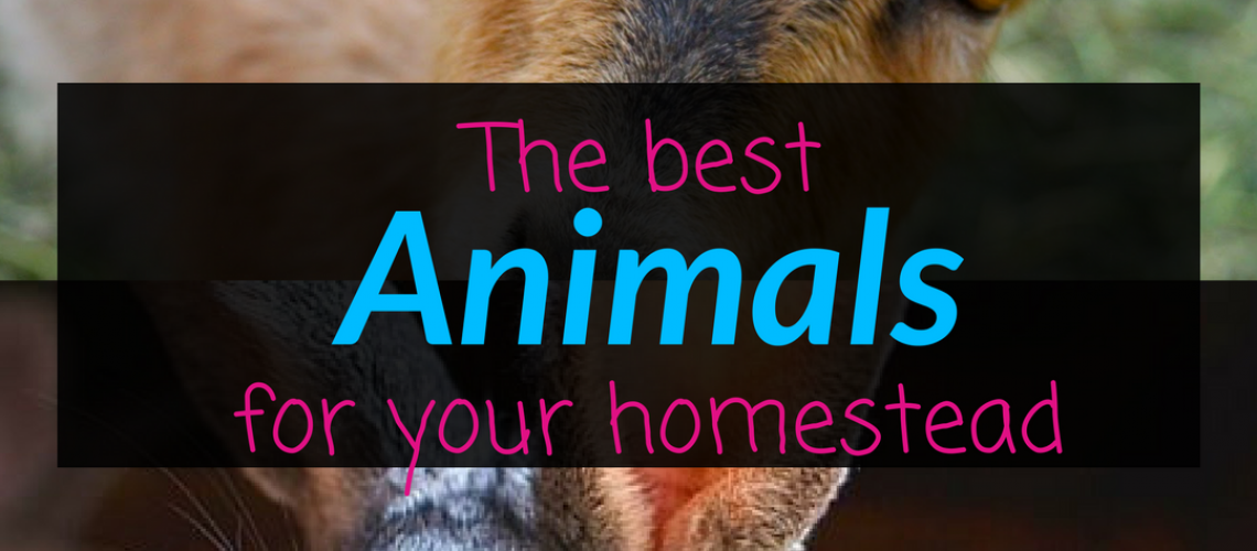The best animals for your homestead, Homestead, Homestead Animals, Backyard Eden, www.backyard-eden.com, www.backyard-eden.com/best-animals-for-your-homestead